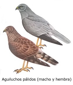 aves rapaces - aguilucho pálido