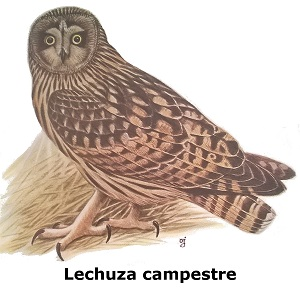 aves rapaces - lechuza campestre
